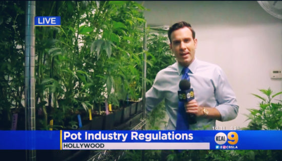 Regulations For Recreational Pot Would Limit Potency